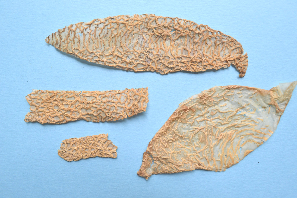 Dried skin of cantaloupe for Pressed Plant Art