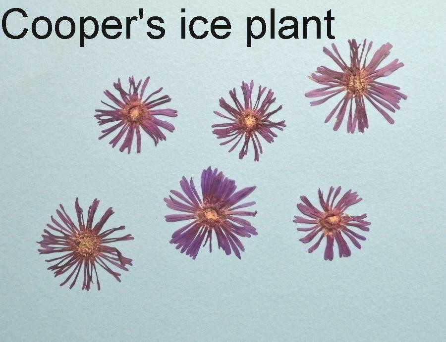 Dried under press flowers of Cooper's Ice plant