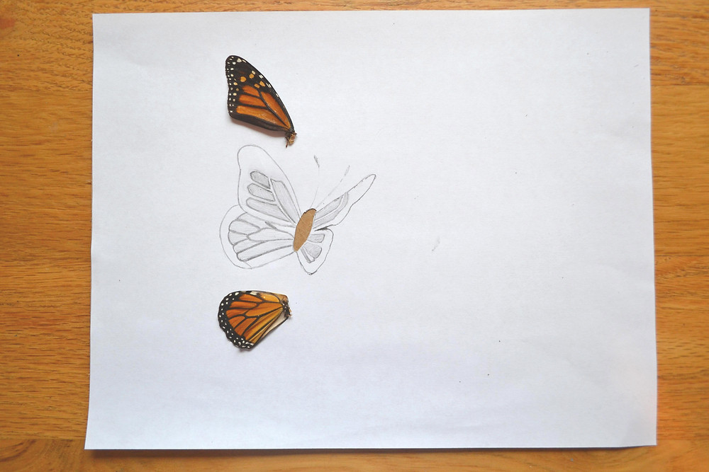 The sketch of a butterfly for the Pressed Plant Art. Wings of a real butterfly Monarch.