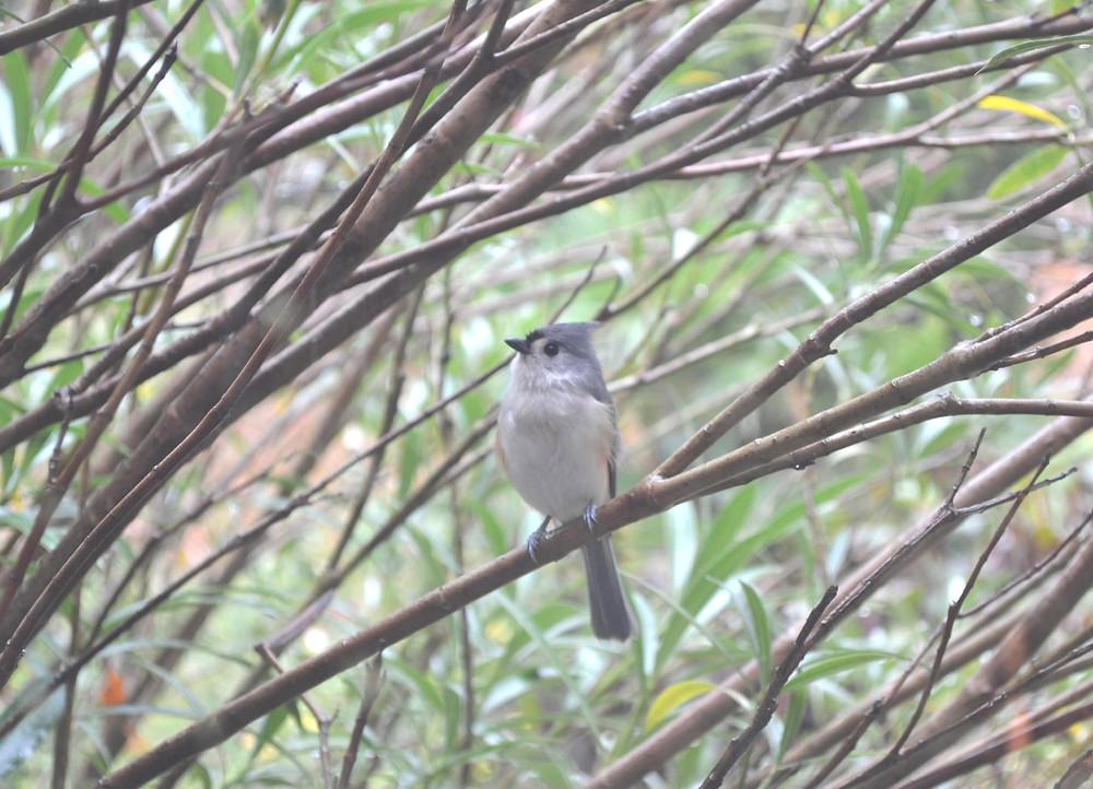 A bird Titmouse.