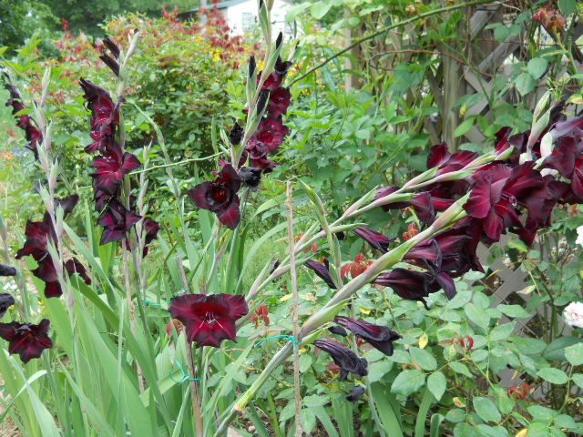 Group of Gladioluses in the garden.