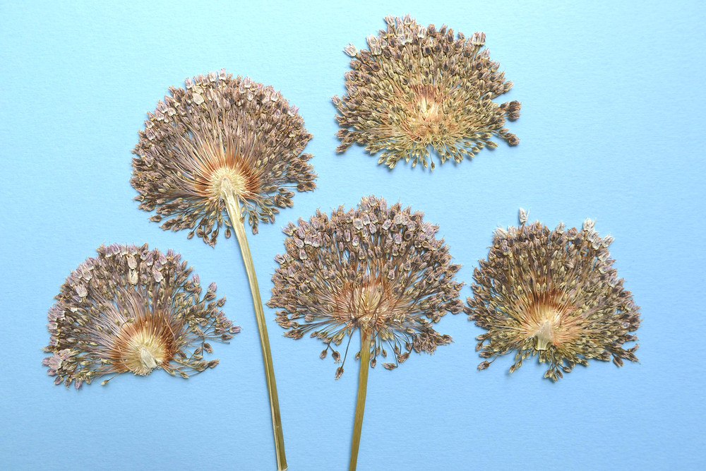 Dried under press Onion flower for Pressed Plant Art