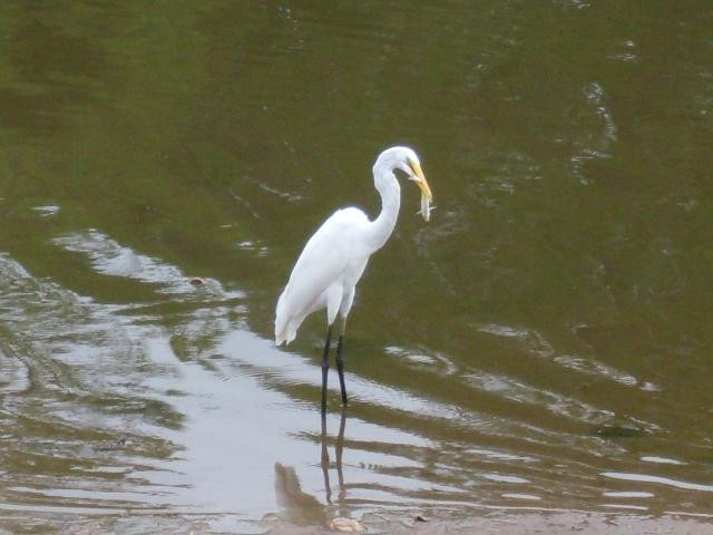 A white egret is eating fish standing in a river.