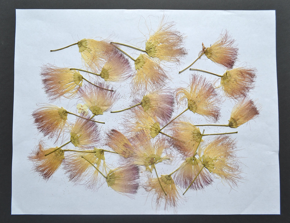 Dried under press seeds of the Silk tree for a Pressed Plant Collage.