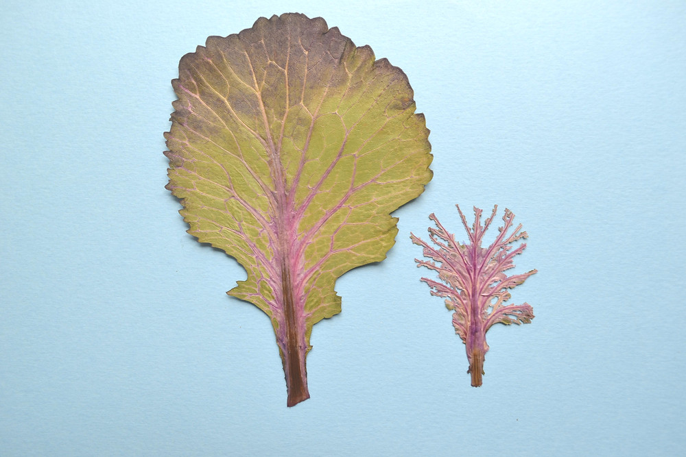 Dried under press leaves of Decorative Cabbage for Pressed Flower Craft