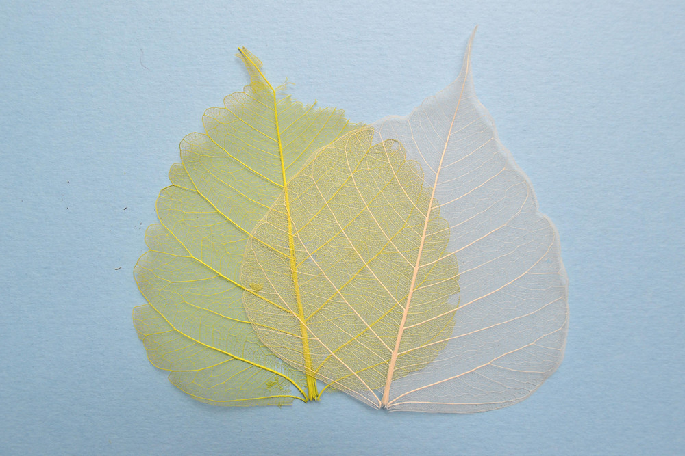 Skeleton leaves white and bright yellow color for Pressed Plant Art