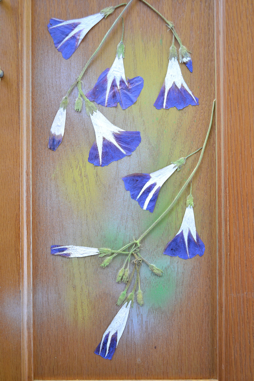A door of a wooden cabinet with dried pressed plant of Morning Glory. Pressed Flower Craft
