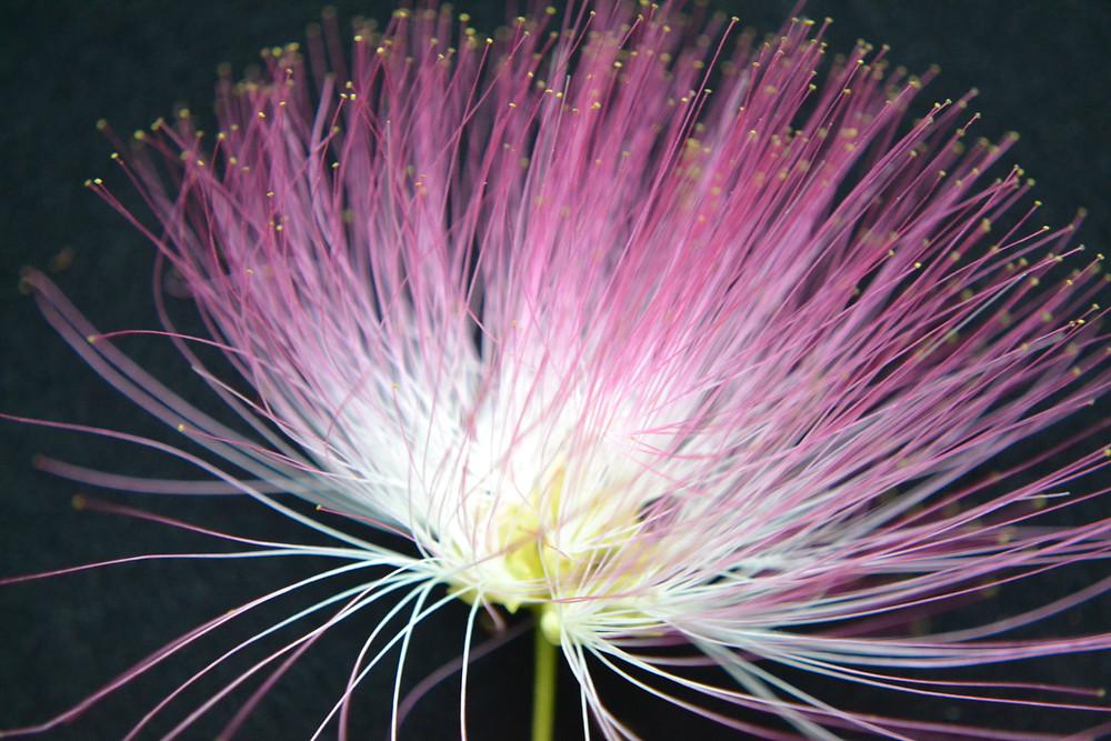 Bloom of the Silk tree.