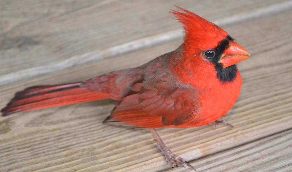 A bird Cardinal.
