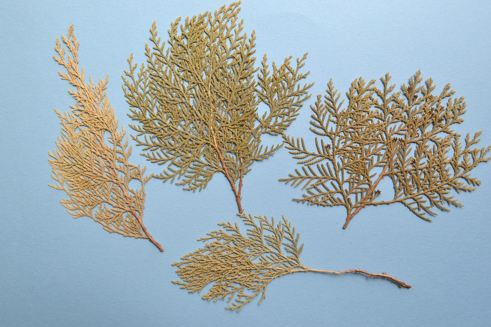 Dried under press small branches of Thuja for Pressed Plant Collage.