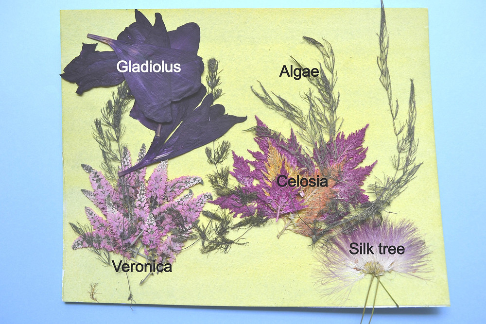 Dried under press dark green color algae, flowers of veronica and celosia, seeds of silk tree.