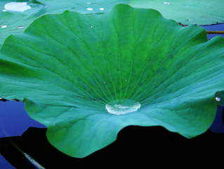 Our life so transient like the water droplet on a slippery lotus leaf..