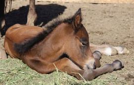 K Kiger Warrior - Arabian Kiger Mustang