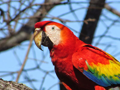 Scarlet Macaw.jpg