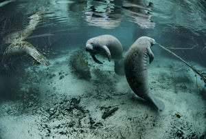Manatees relaxing in crystal clear water