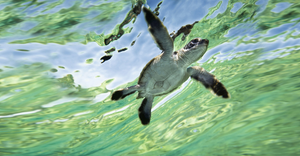 Swimming sea turtle hatchling
