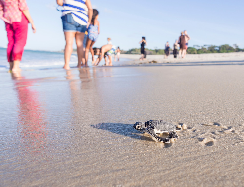 Sea turtle hatchling with beach visitors