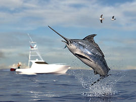 Sailfish sport fishing.jpg