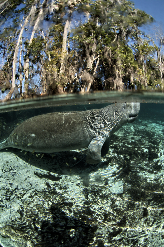 Manatee swimming in crystal clear water