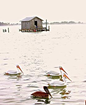 American White Pelicans near Cortez, Florida