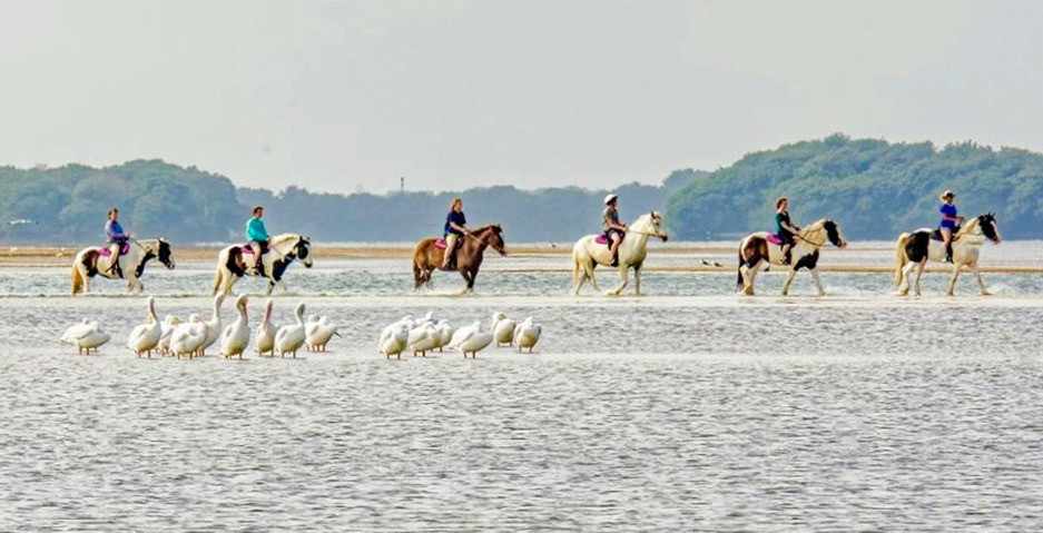 Horseback riding on the beach with Pelicans ~ Anna Maria Island