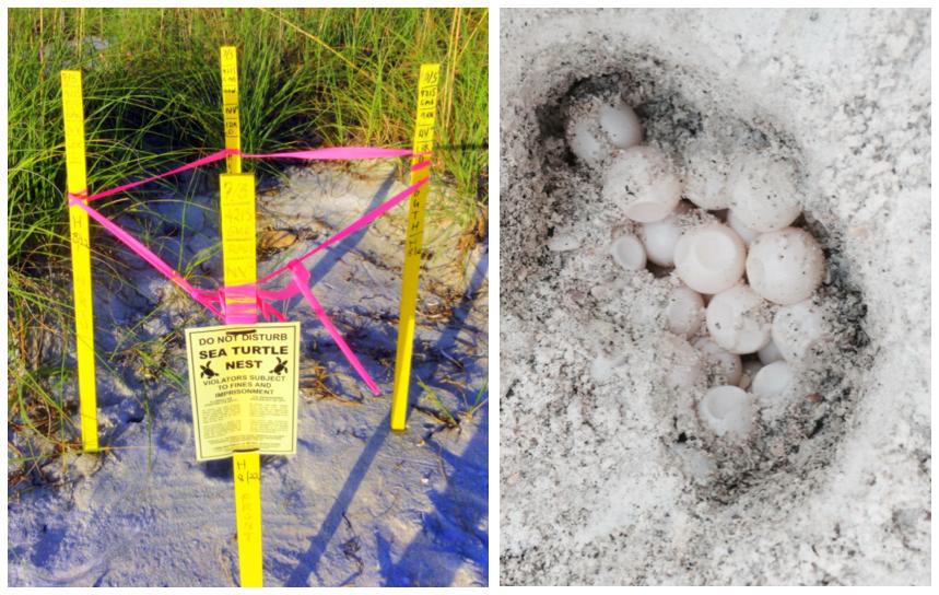Sea Turtle nests and eggs on Anna Maria Island Florida