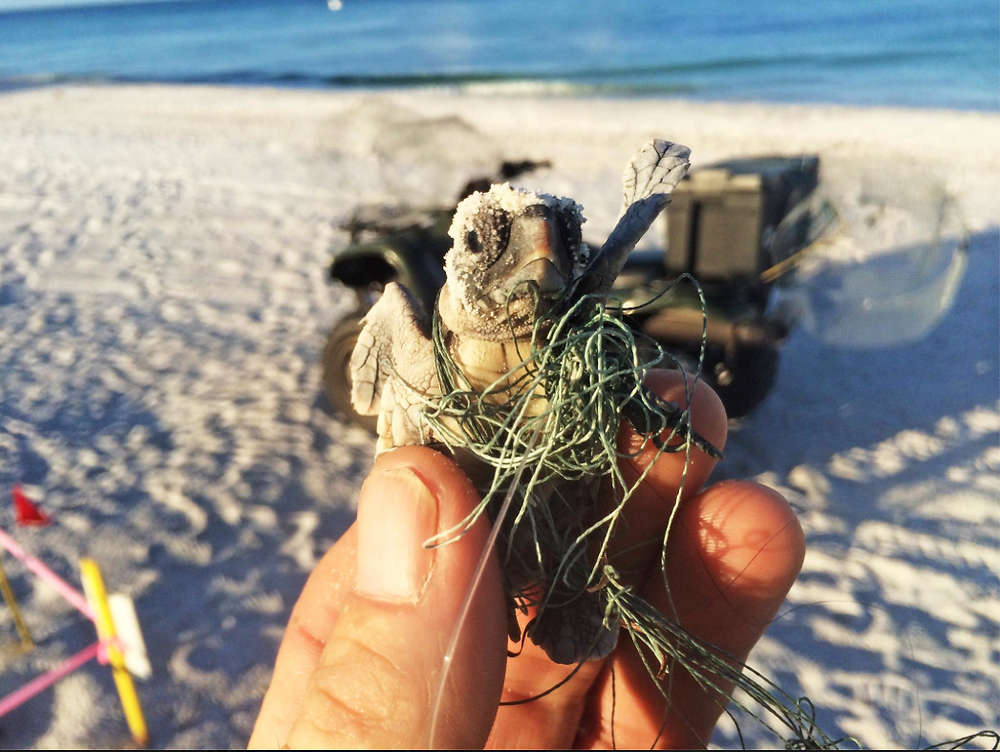 Baby sea turtle hatchling caught in net and fishing wire