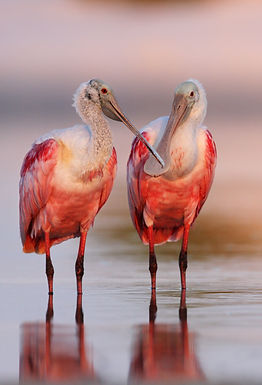 Two Roseate Spoonbills roosting in a Florida tree