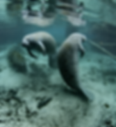 Two manatees in Gulf of Mexico