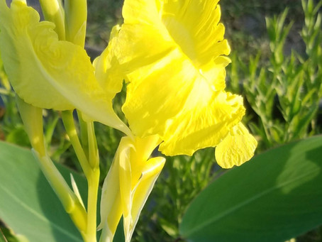 Species Profile: Golden Canna