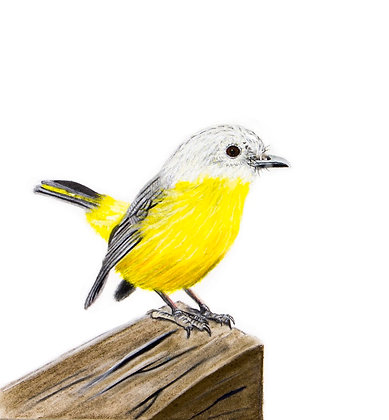 Yellow Breasted Robin
