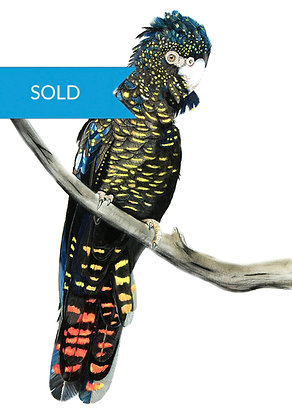 SOLD - Red Tail Black Cockatoo
