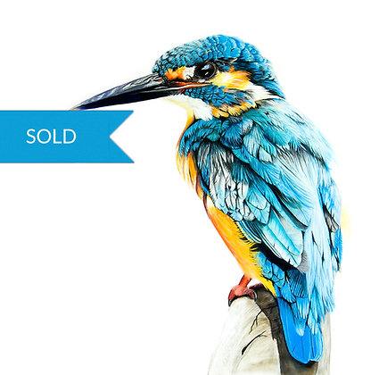 SOLD - King Kingfisher
