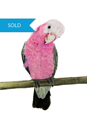 SOLD - Oh What a Galah You Are!