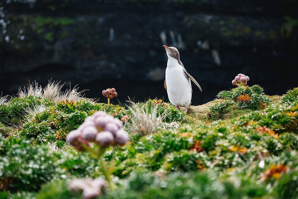 Subantarctic, New Zealand, yellow eyed penguin, expedition, expedition guide, expedition guide academy, guide training, photographer, expedition guide life