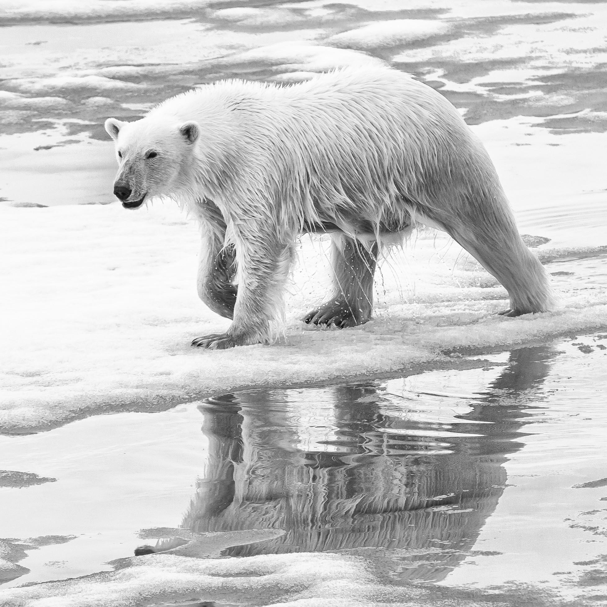 Polar Bear Safety & Firearm Handling