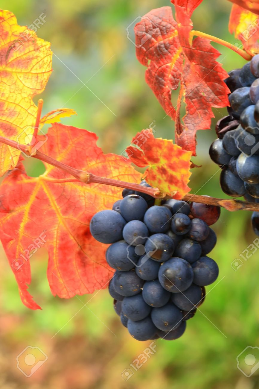 Grapes in Autumn foliage