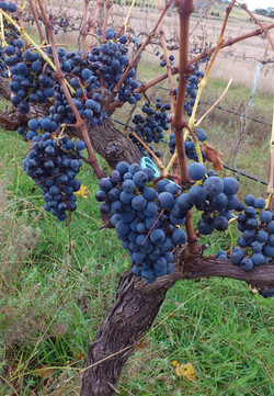 Shiraz on the vine