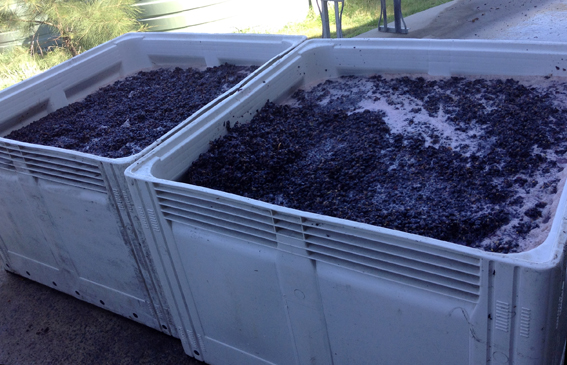 Grapes safely in the vats