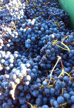 Handpicked shiraz grapes