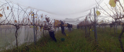 2012 grape picking