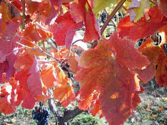 Vine leaves in autumn