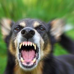 Barking enraged shepherd dog outdoors. T