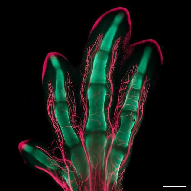 06 Quail foot cartilage nerves.jpg
