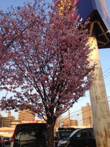 桜満開!?です