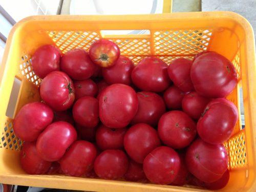 旭川で採れた形の良い新鮮なトマトです!