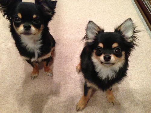看板犬(左:コロン・右:ハル)