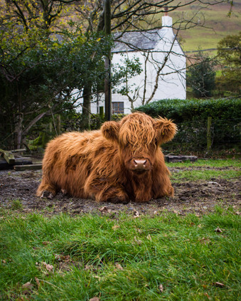 Highland Cow in the Lake District