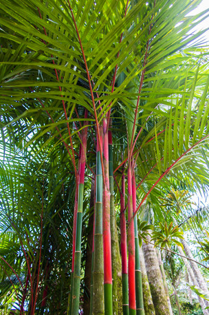 Red Bamboo, Costa Rica