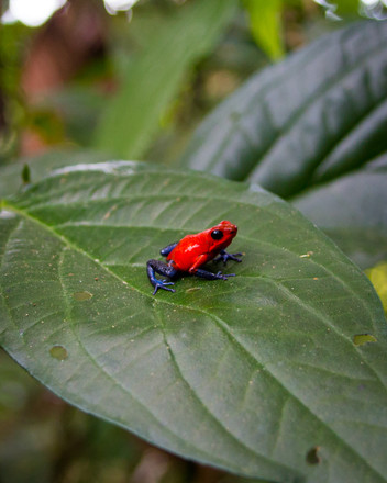 Blue Jeans Frog, Costa Rica